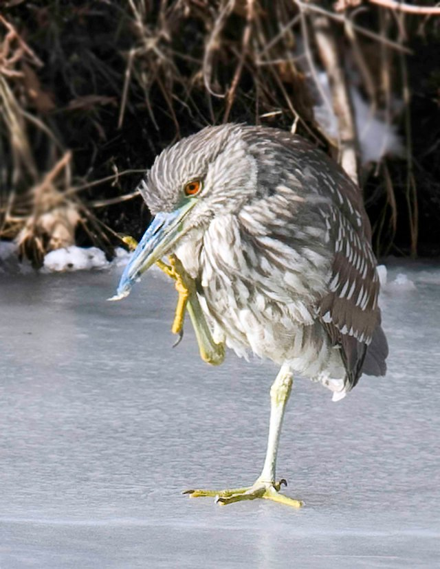 Black_night_heron_2_blog.5