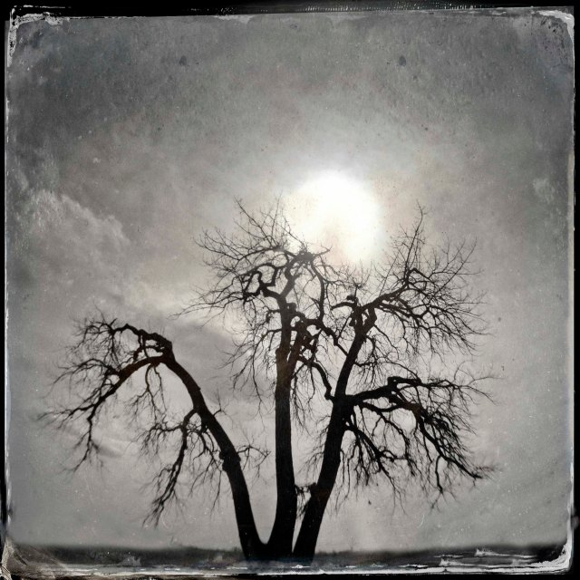 Cottonwood and Sun