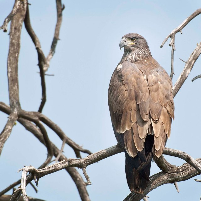 Young_eagle_3