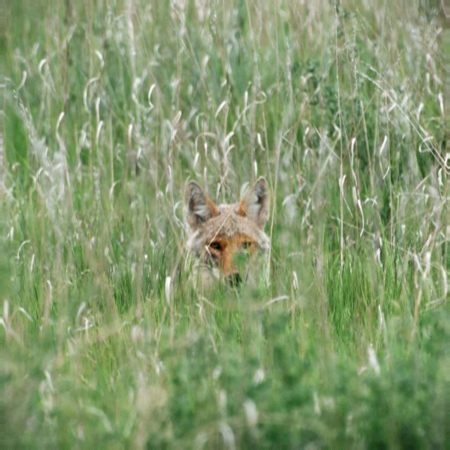Coyote and grass.