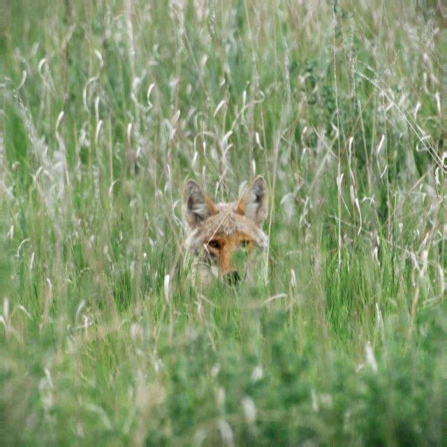 coyote_2_Blog