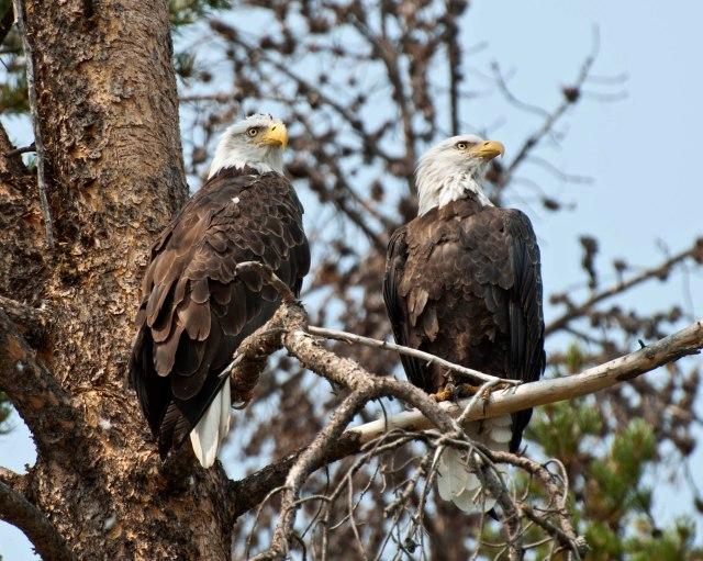 Eagle_pair_4