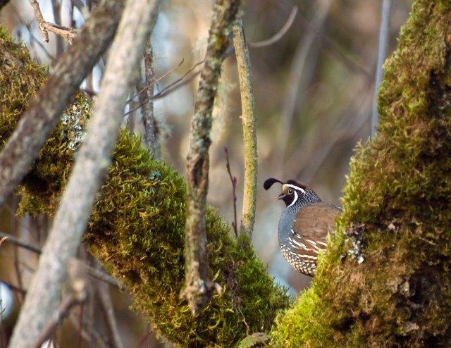 California_quail_1