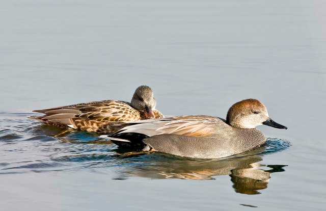 The Gadwalls