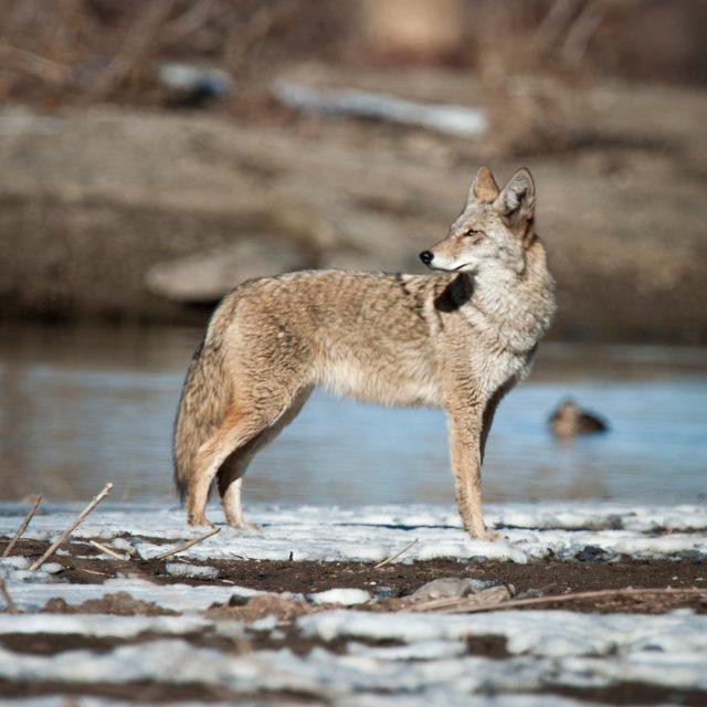 winter_coyote_2