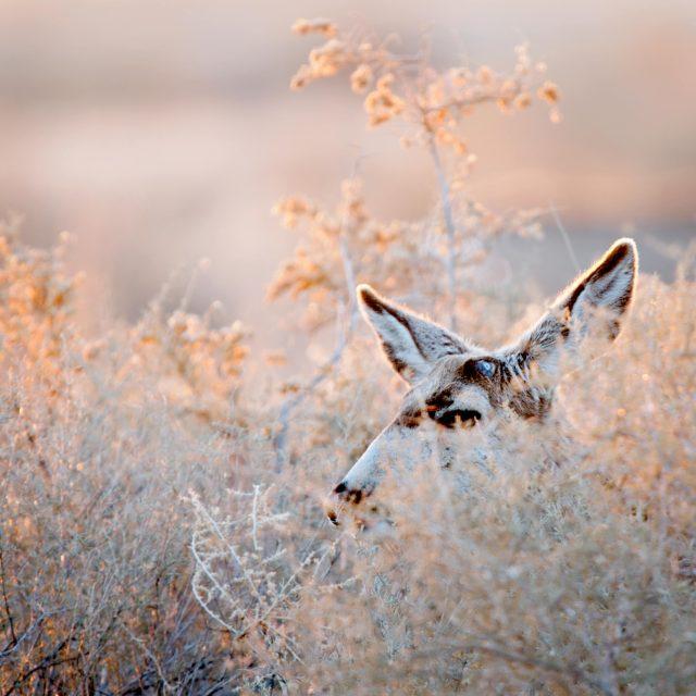 Mule_deer_face_1
