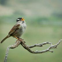 Song_sparrow_2