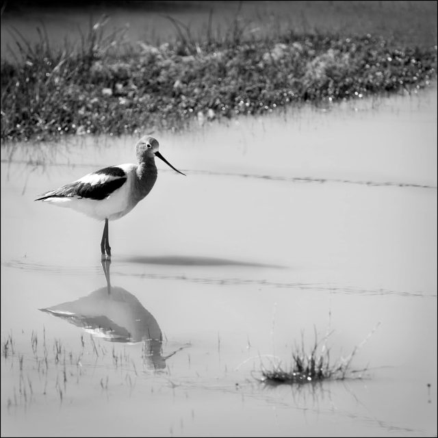Avocet, mud and barbed wire