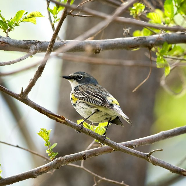 Yellow Rumped