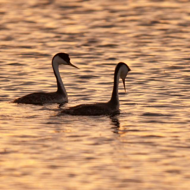 Grebes Night Out