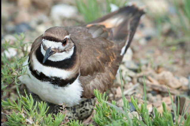 Killdeer_nesting_1