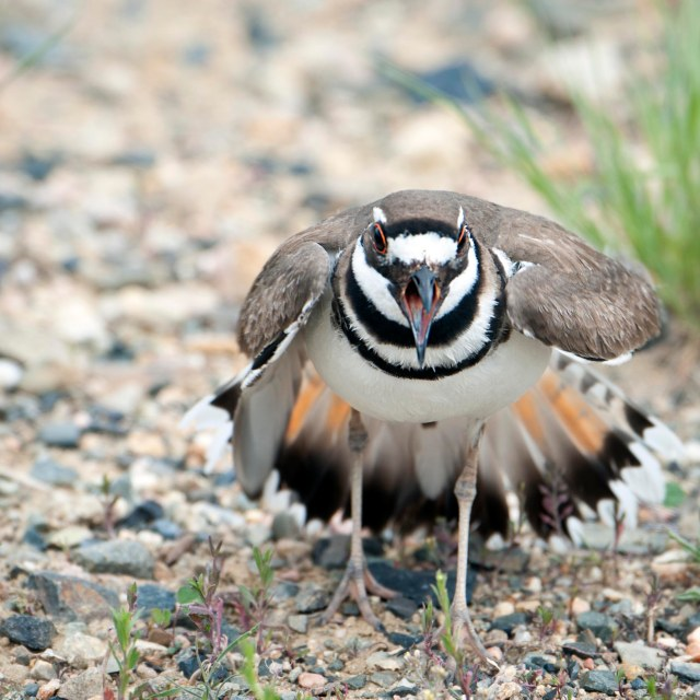 Killdeer_nesting_2
