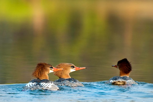 3_mergansers_evening_light