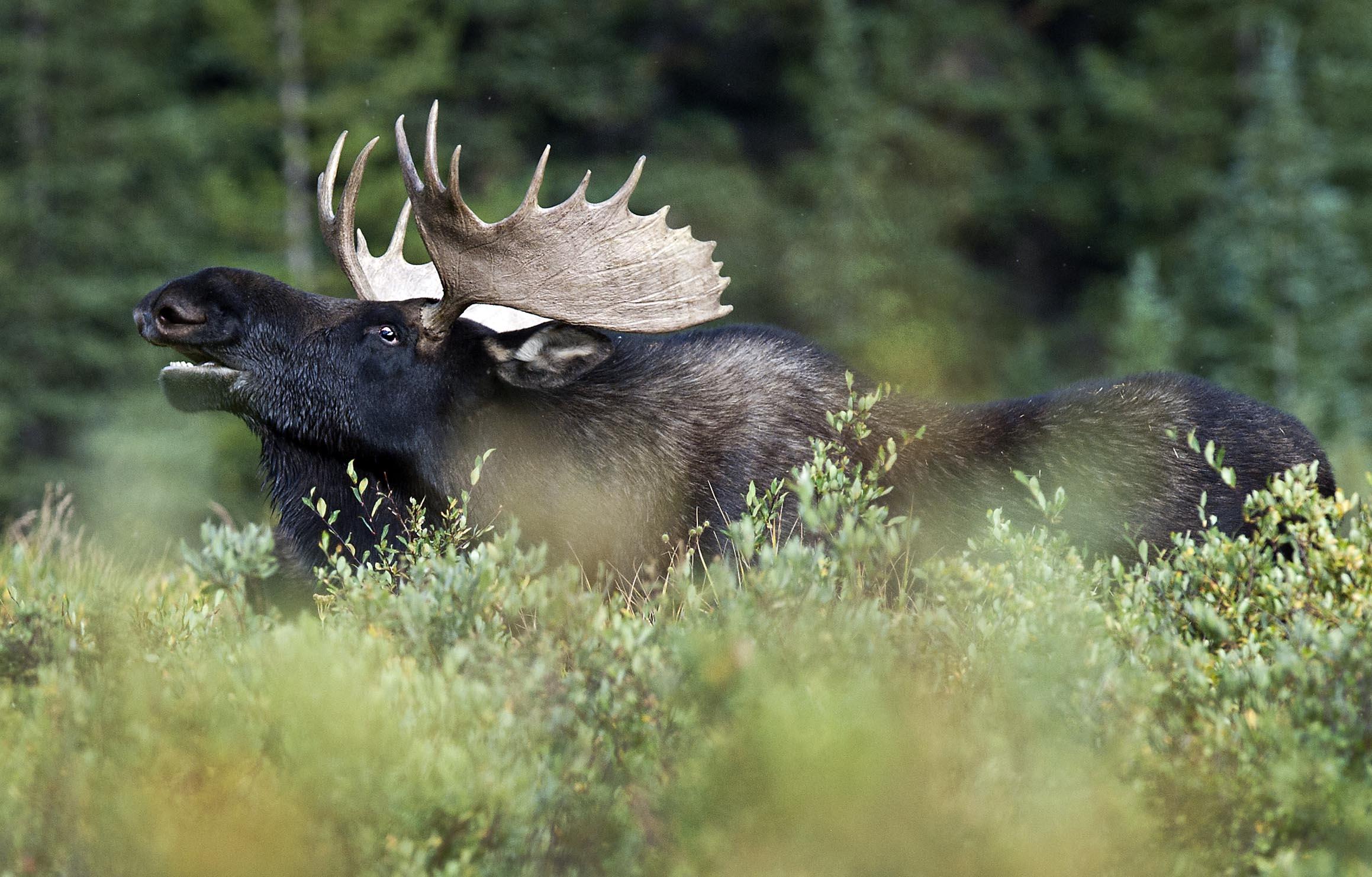 BUll_moose_7