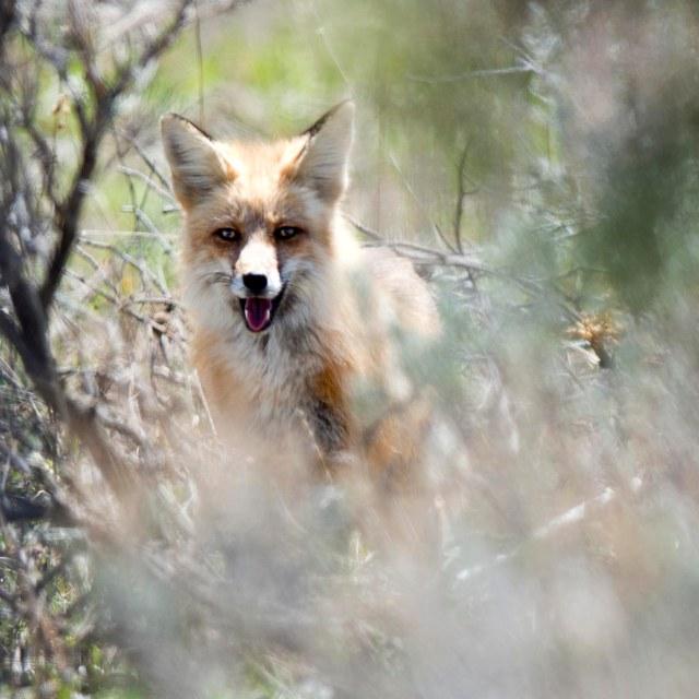 Red_fox_1