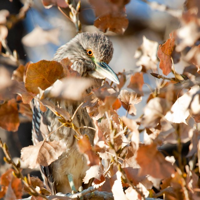 Fall_night_heron