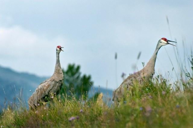 sandhill_cranes_2