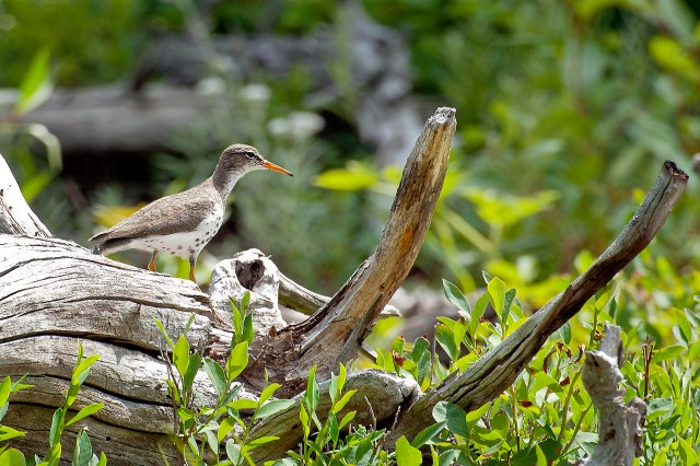 Spotted_sandpiper_1