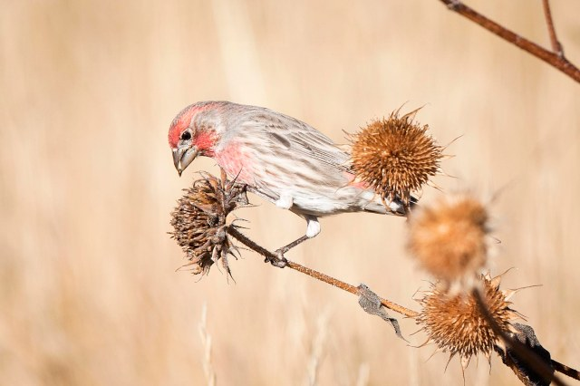 Finch_thistle_1