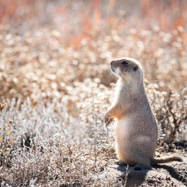 Prairie_dog_fall_1