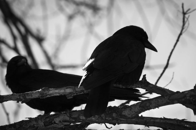 Raven_backlight_1