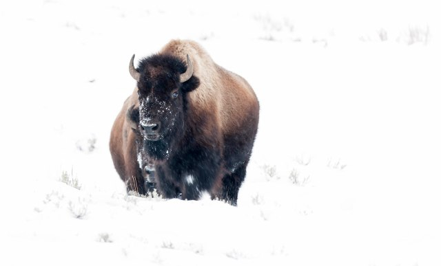 Bison_winter_1