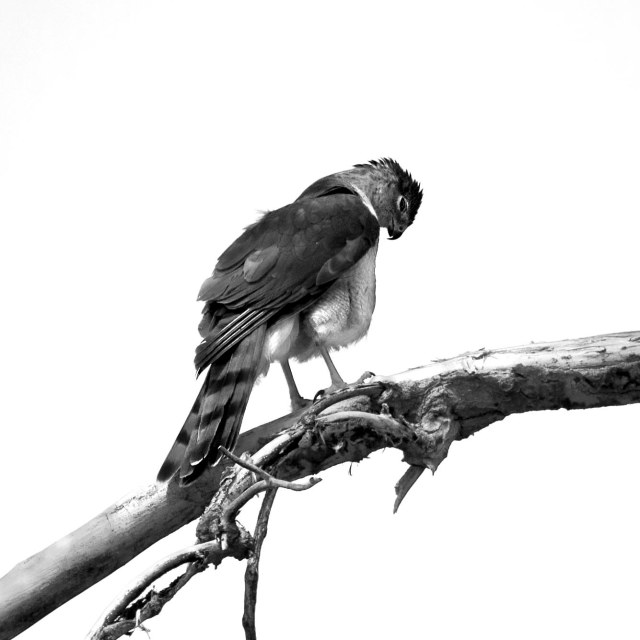 Coopers_hawk_bw_1