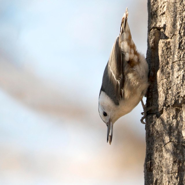 White_breasted_nuthatch_2