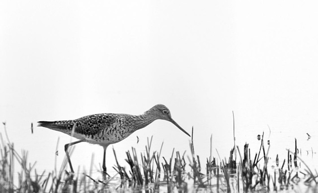 Yellowlegs_bw
