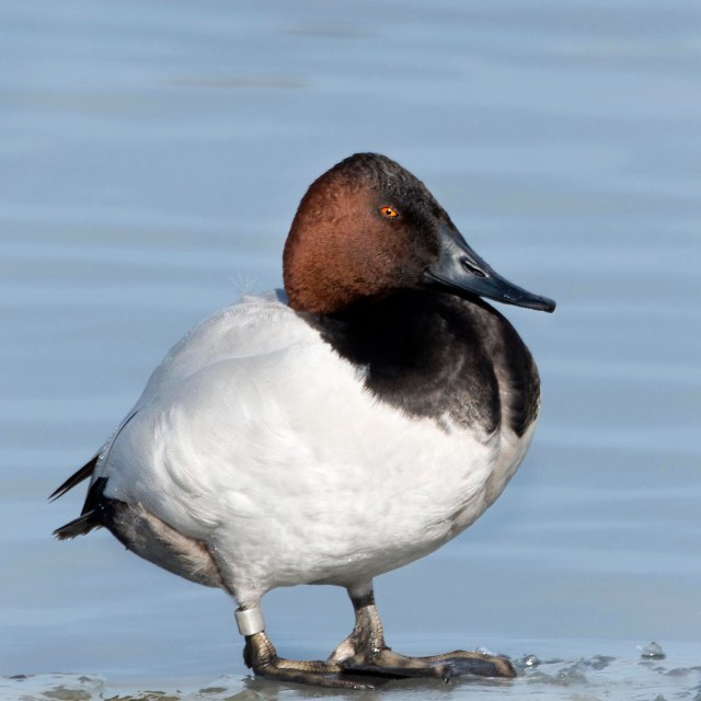 Canvasback_male_1