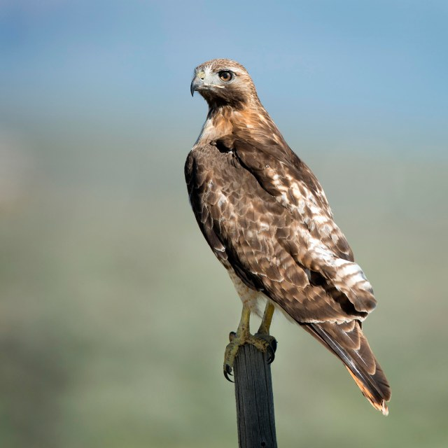 Red_tail_1