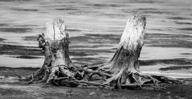 Two_stumps_bw