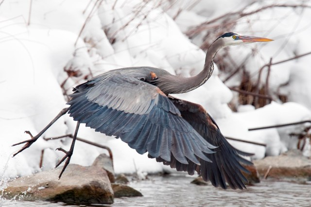Blue_heron_1