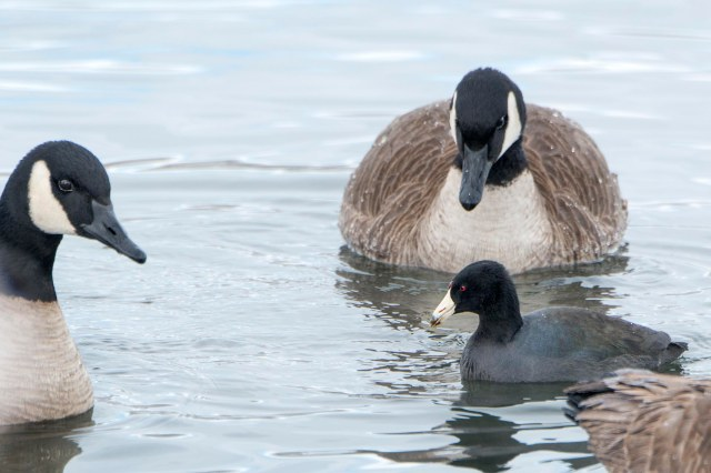 coot_goose_1