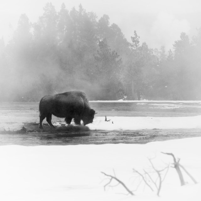 Bison_in_thermals_1