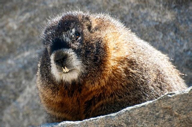 Marmott_post_1