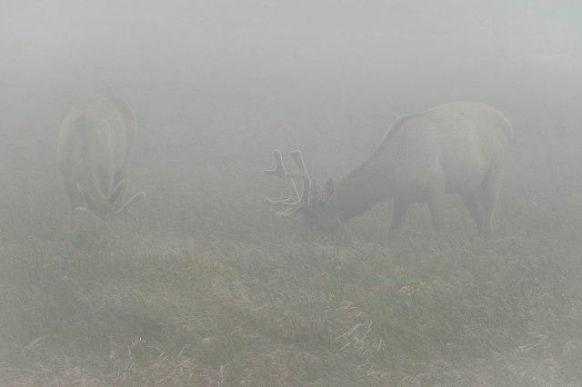 Tule_elk_fog_1