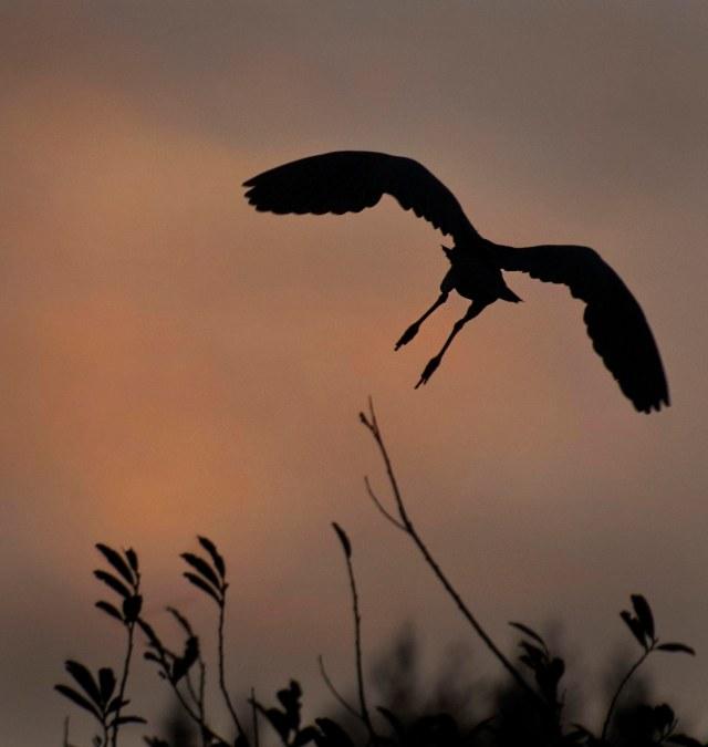 Good_night_heron_1