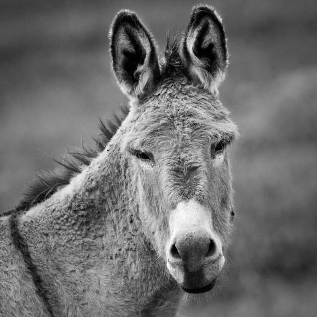 Mule_1_bw