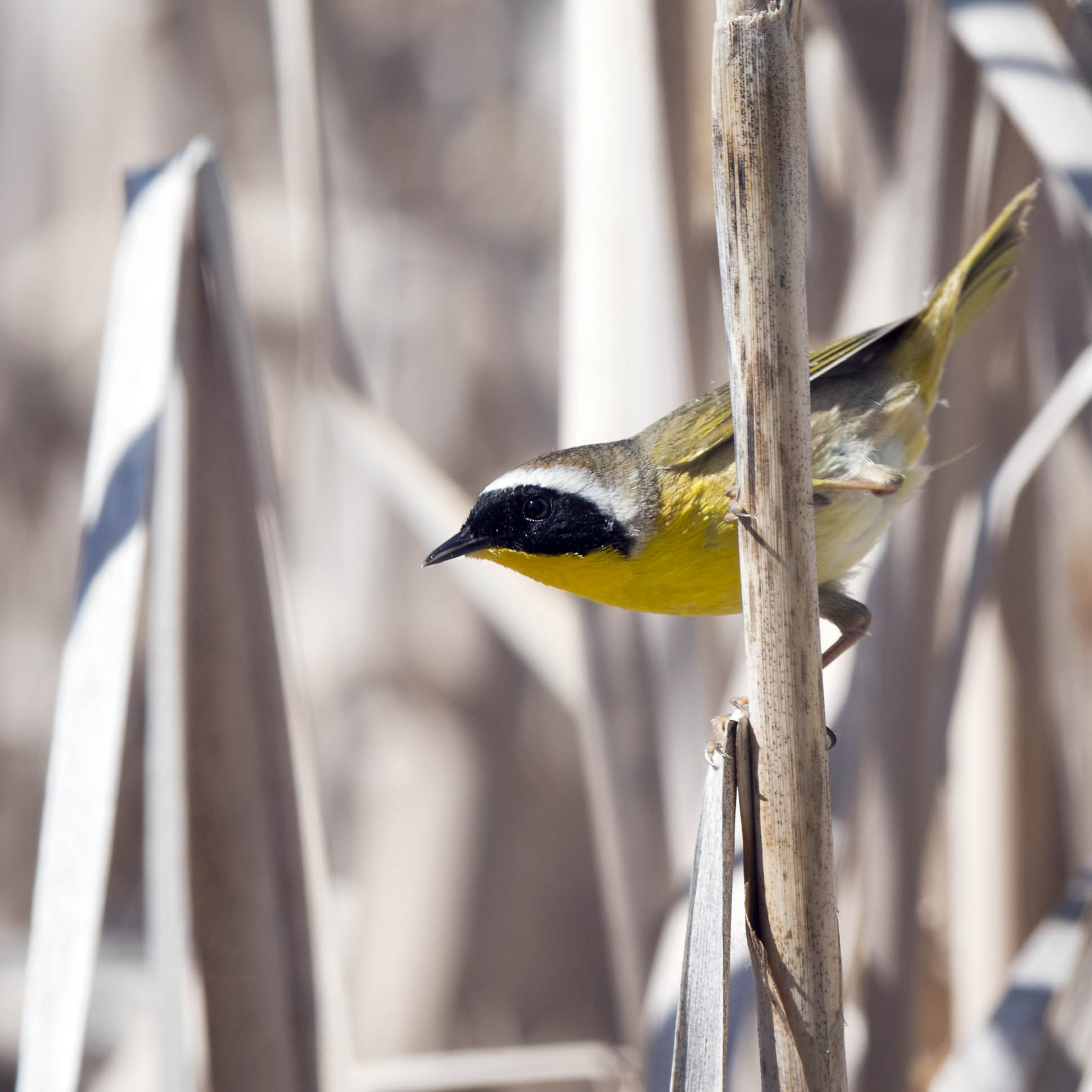 Yellowthroat_1