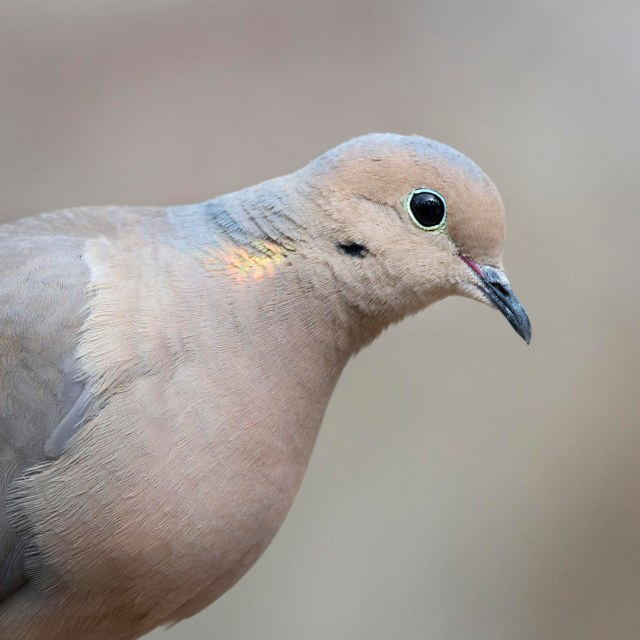 Mourning_dove_1