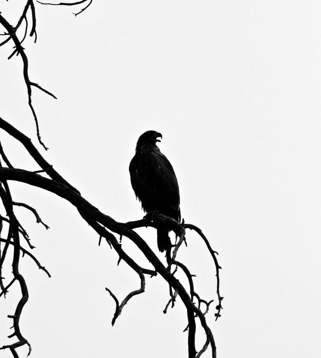 Sillohoute_eagle