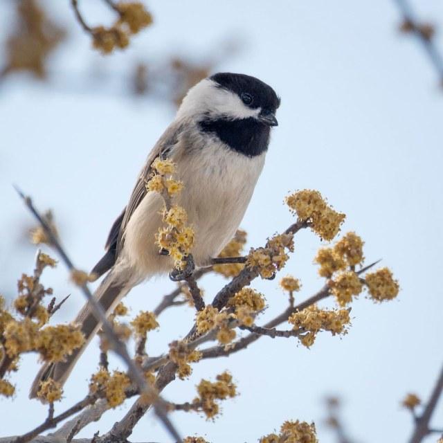 Spring_chickadee