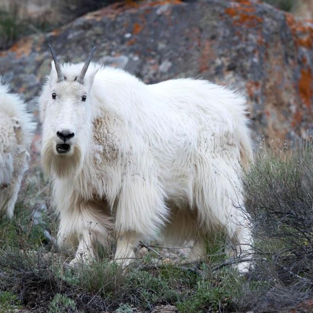 Mt_goat_2