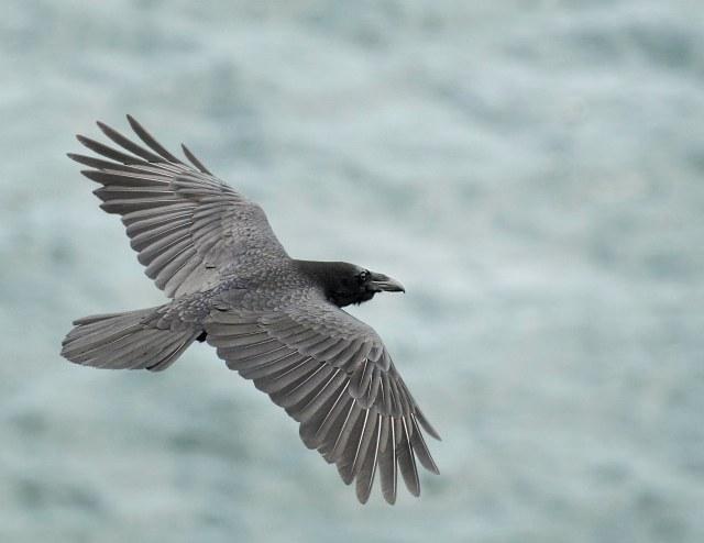 Raven_flight