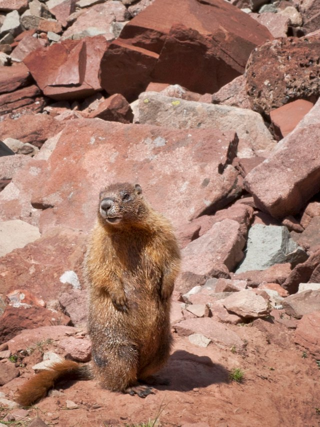 Red_bellied_marmot_1