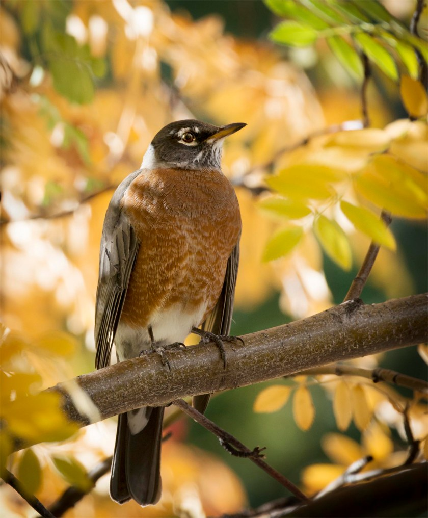 Fall_robin_1