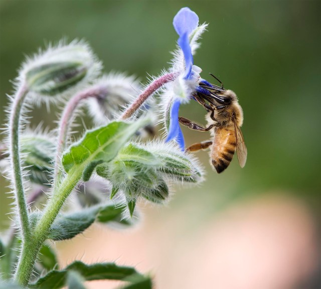 Bee_borage_2