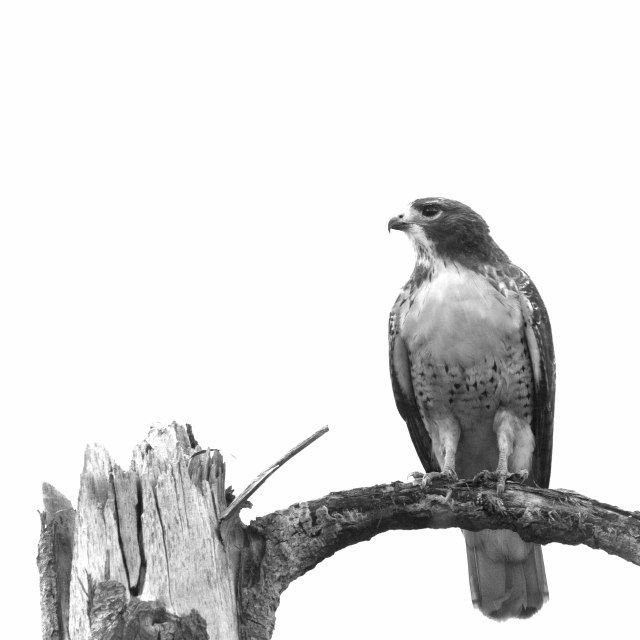 Red_tail_grey_day_bw