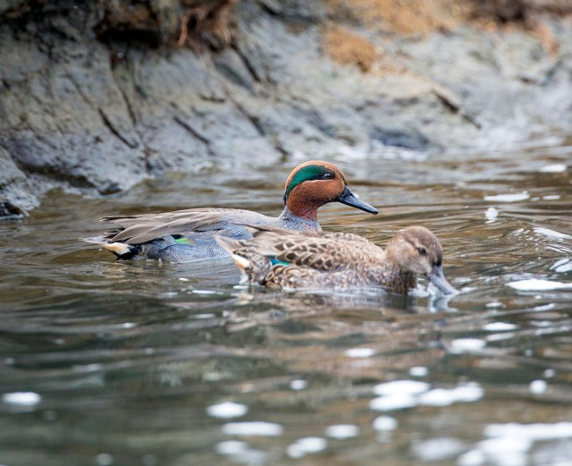Green_winged_teal_pair